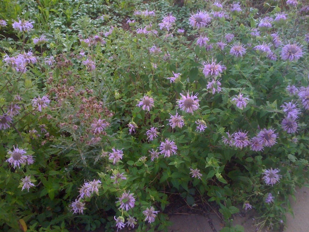 Horsemint Outside My Classroom at CC